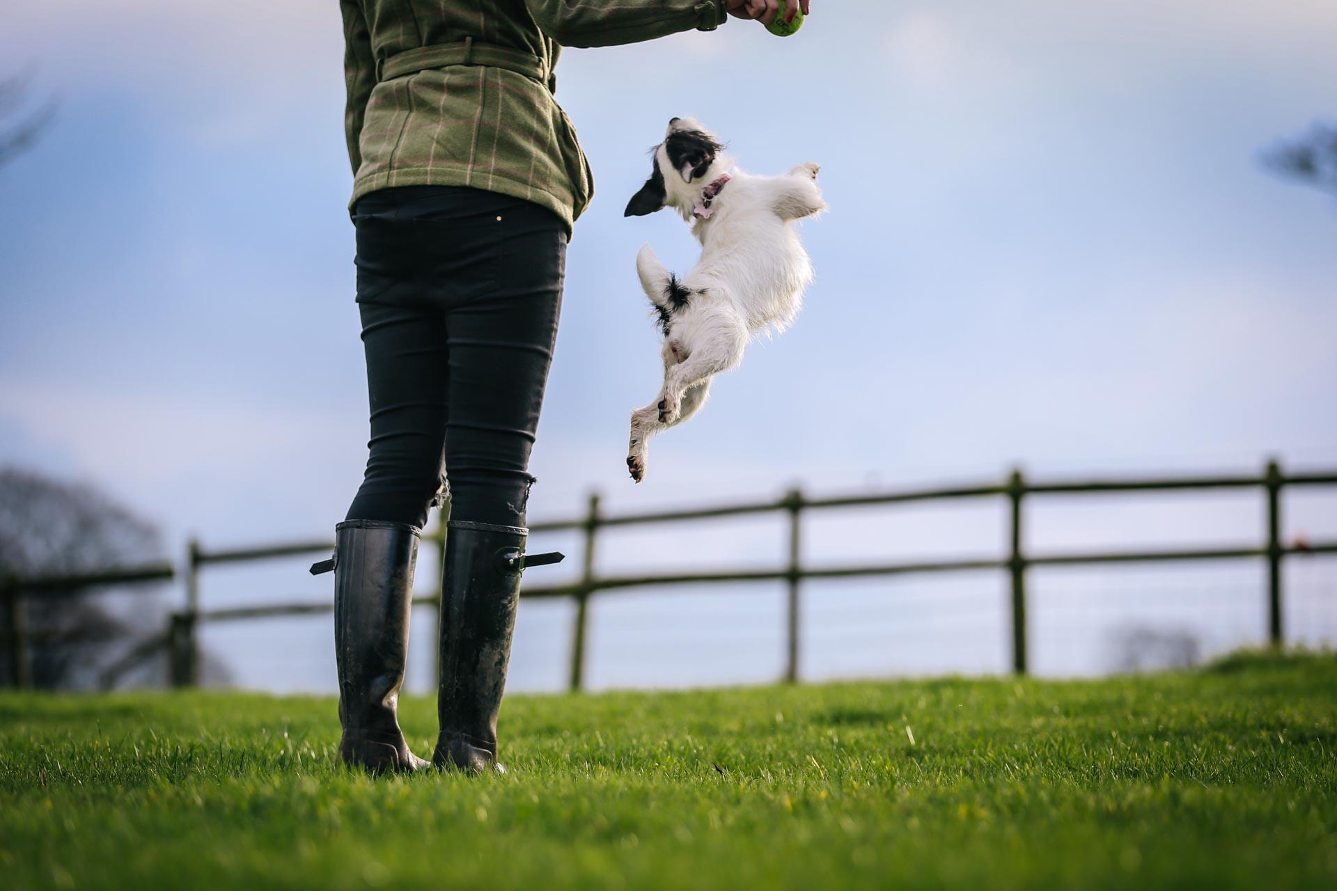 Jack Russell Pet Portrait Joanna Eardley Photography