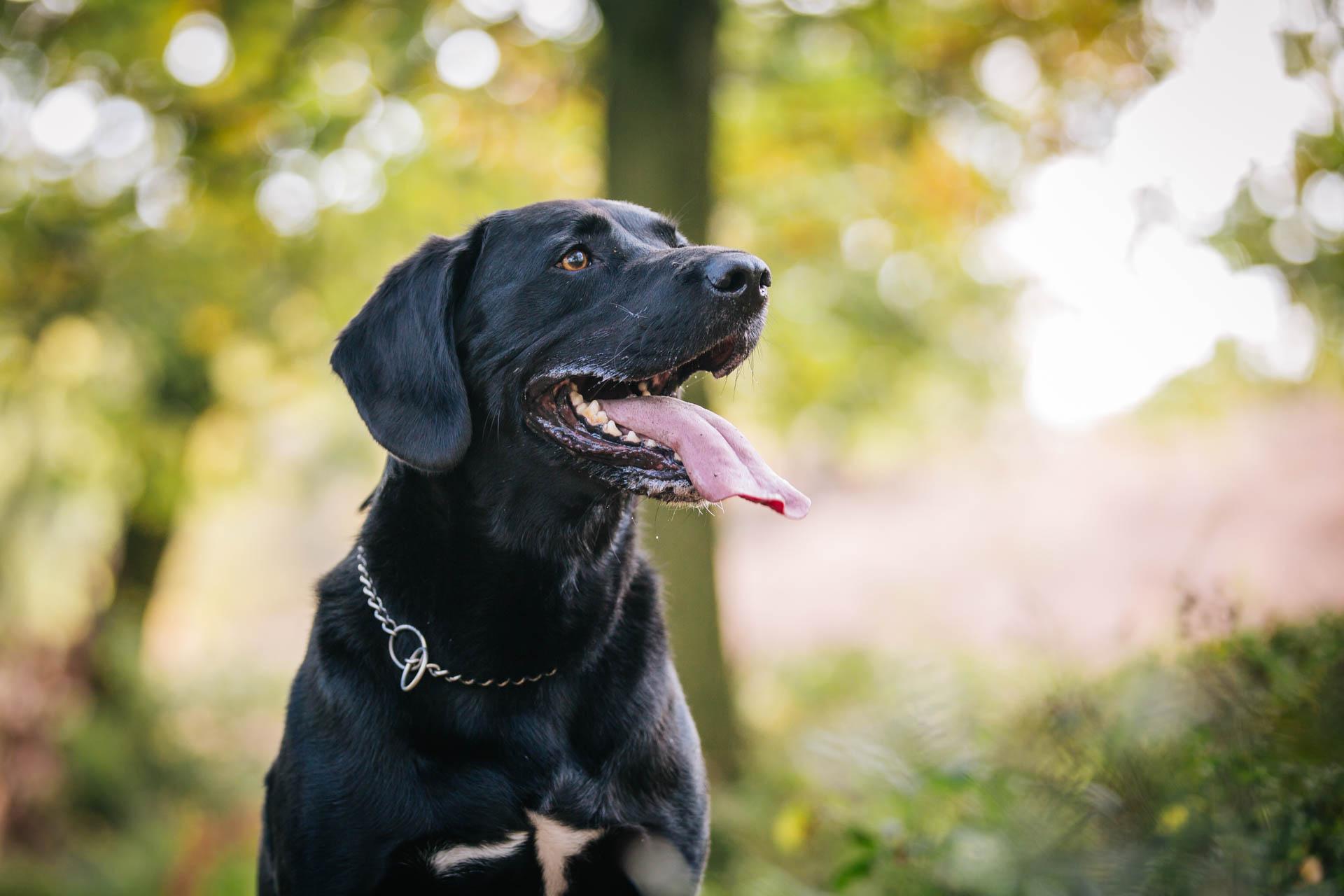 Labrador Dog Photographer