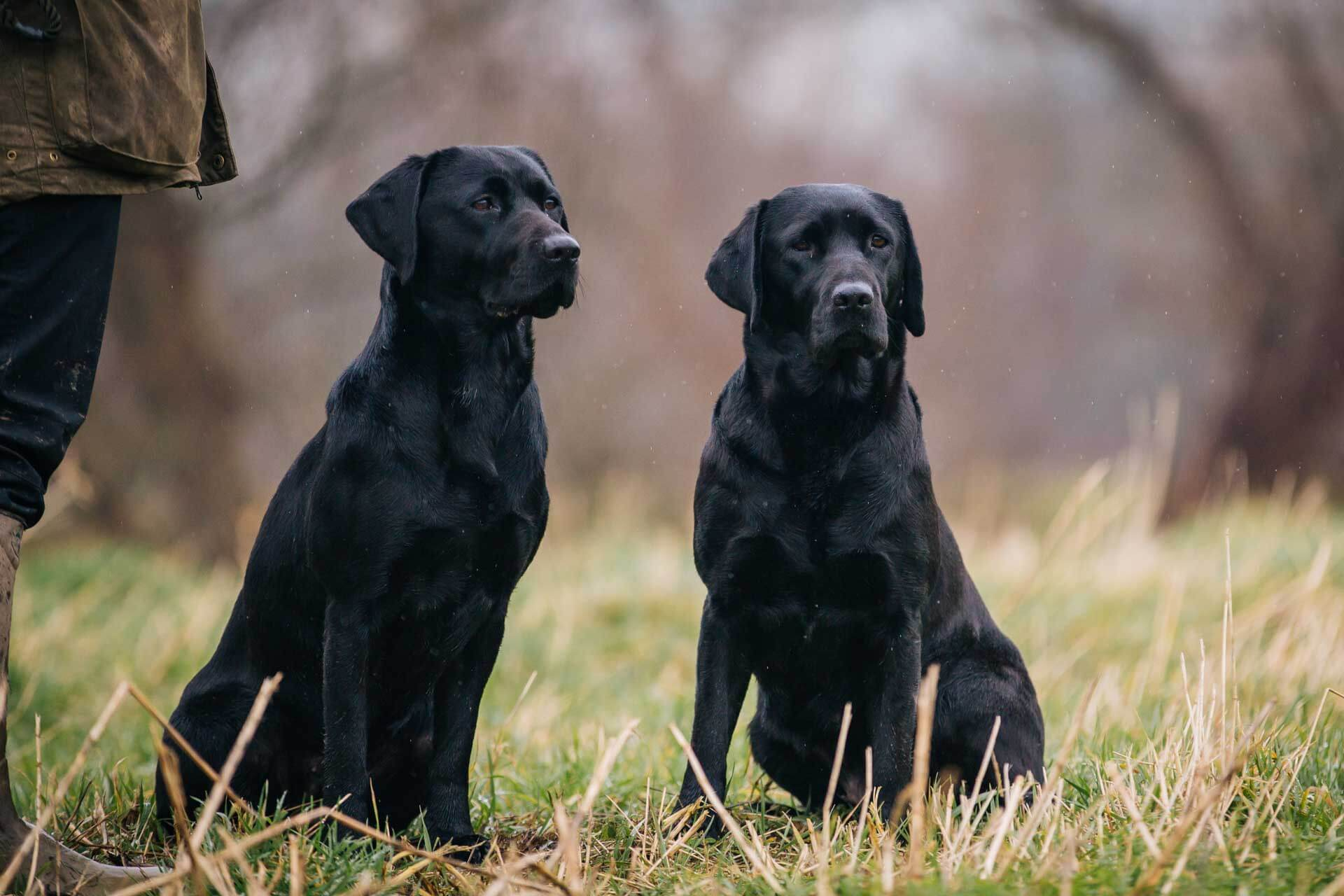 Gundogs Photography. Labradors at work