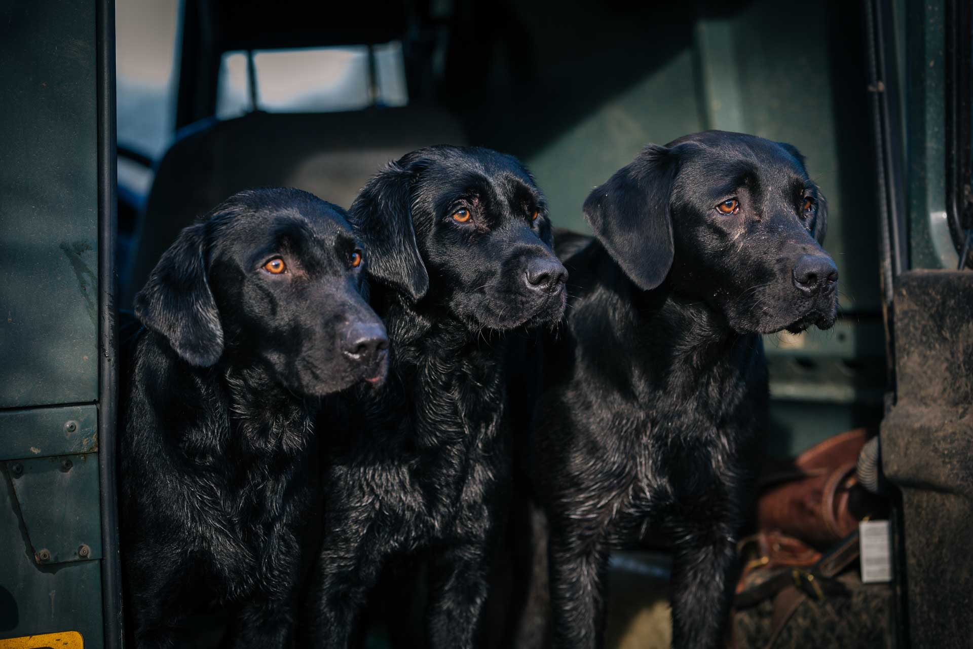 Working Labradors Gundogs Photography