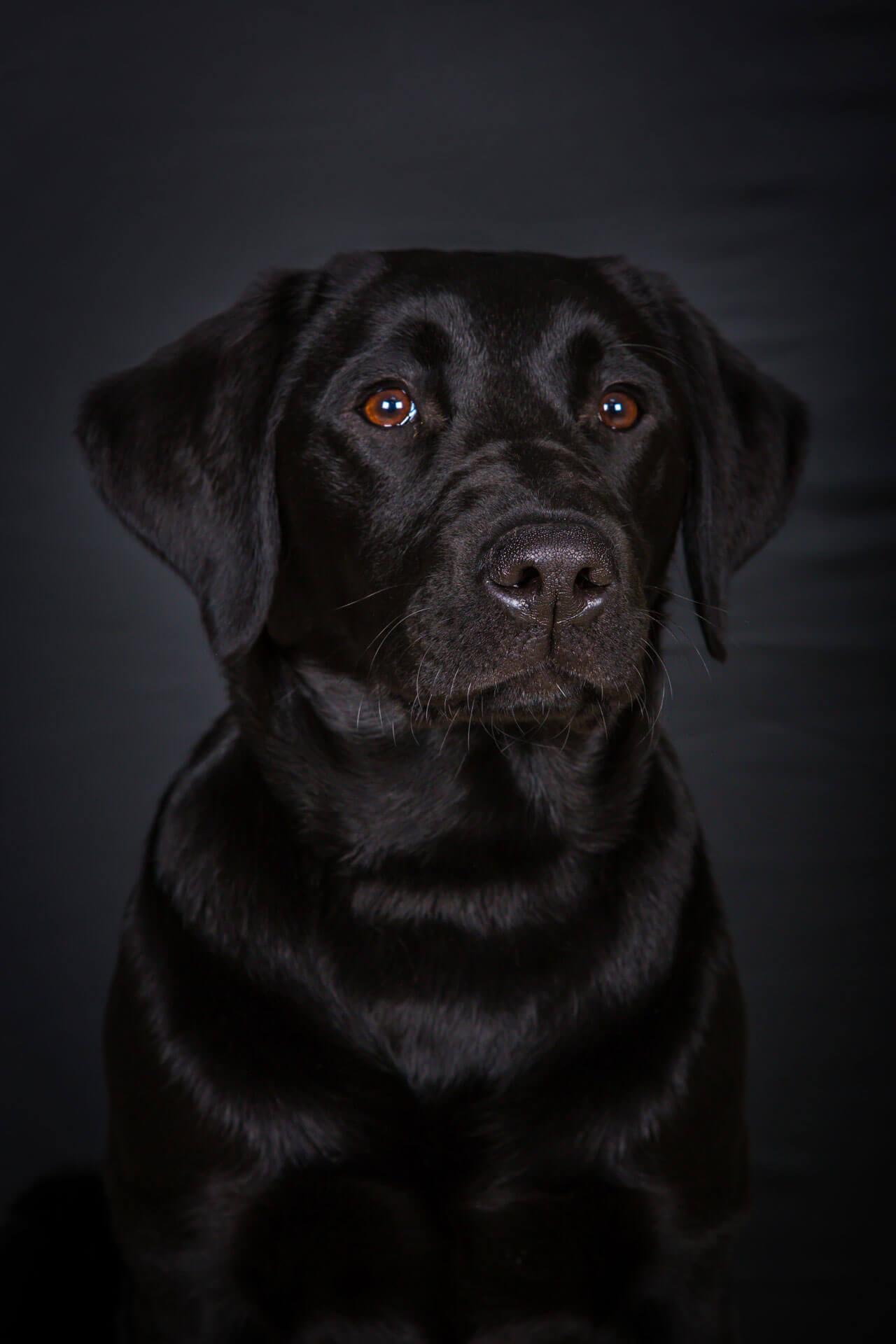 Labrador Portrait Photography
