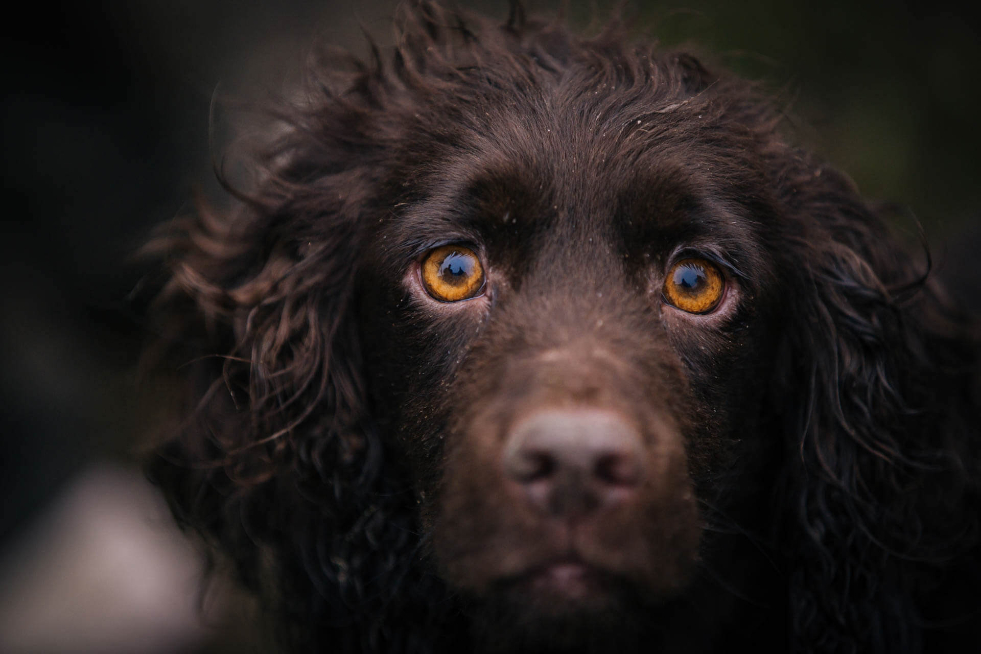 Working Cocker Spaniel Gundog Photography