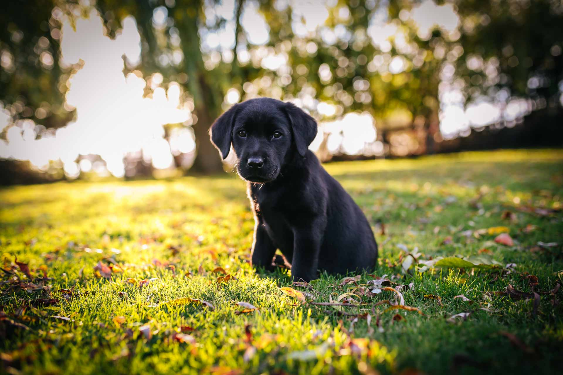 Labrador Puppy Portrait Photography