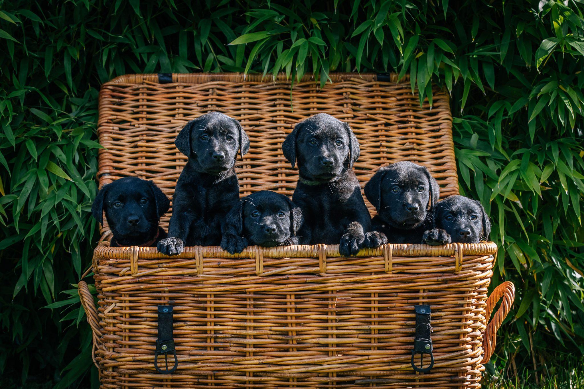 Black Labrador Puppies Pet portrait photoshoot Chesire Joanna Eardley Photography