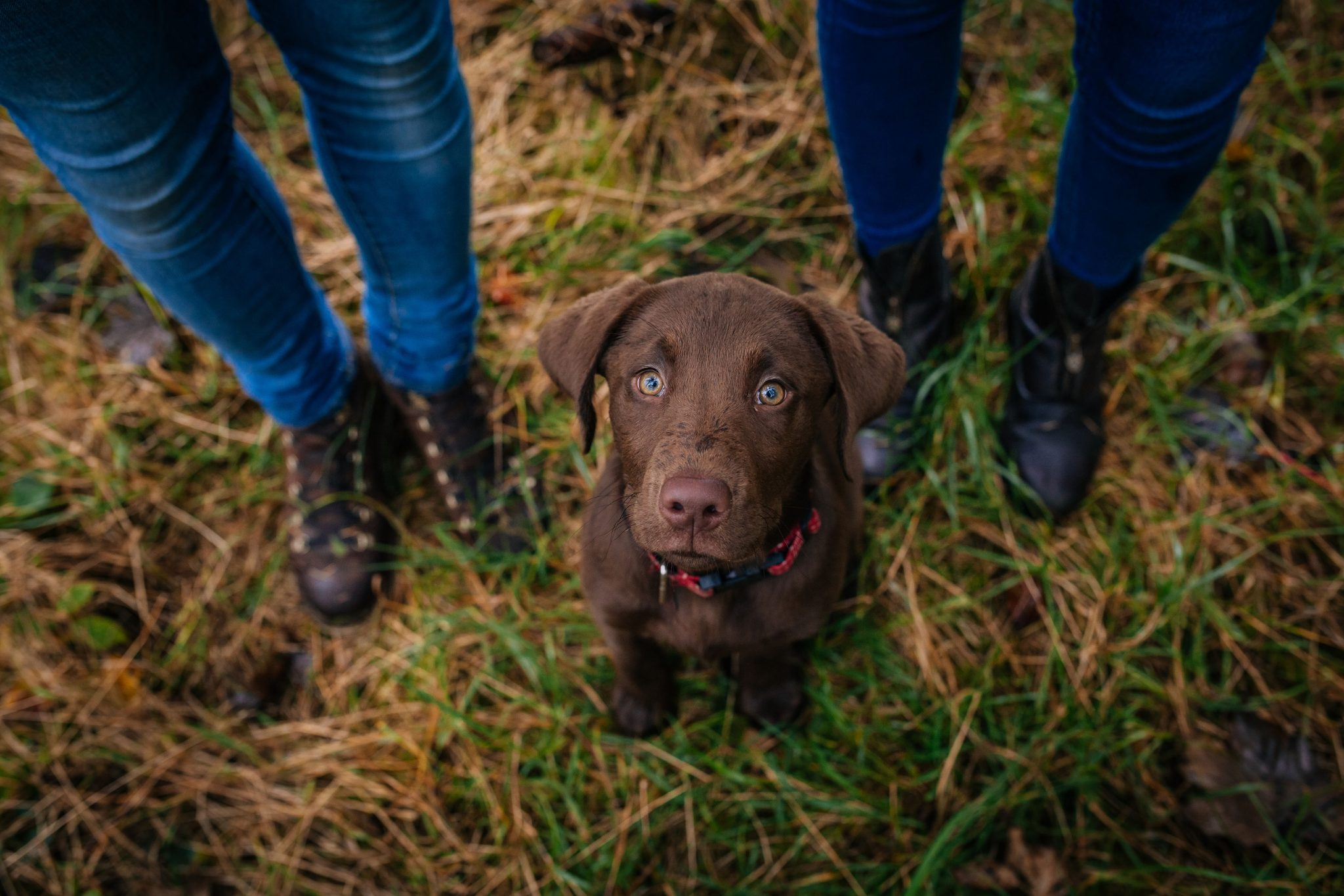 Chocolate Labrador portrait photography Joanna Eardley