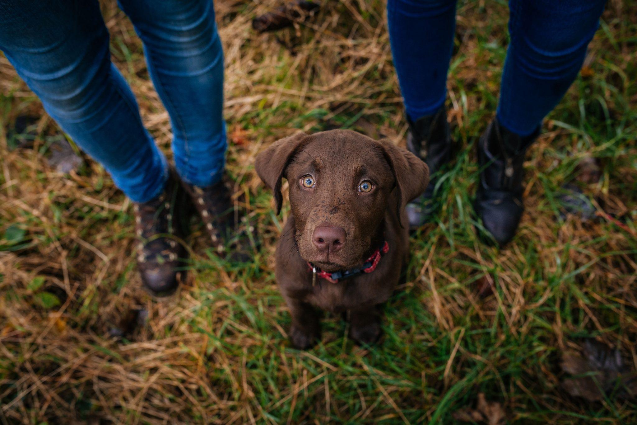 Chocolate Labrador portrait photography Joanna Eardley