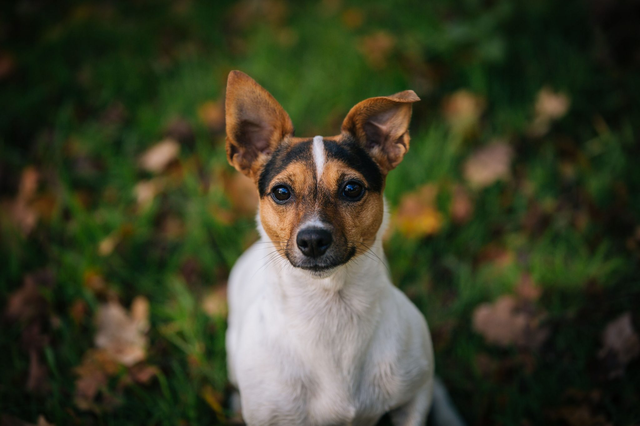 Jack Russell Portrait Photography Cheshire