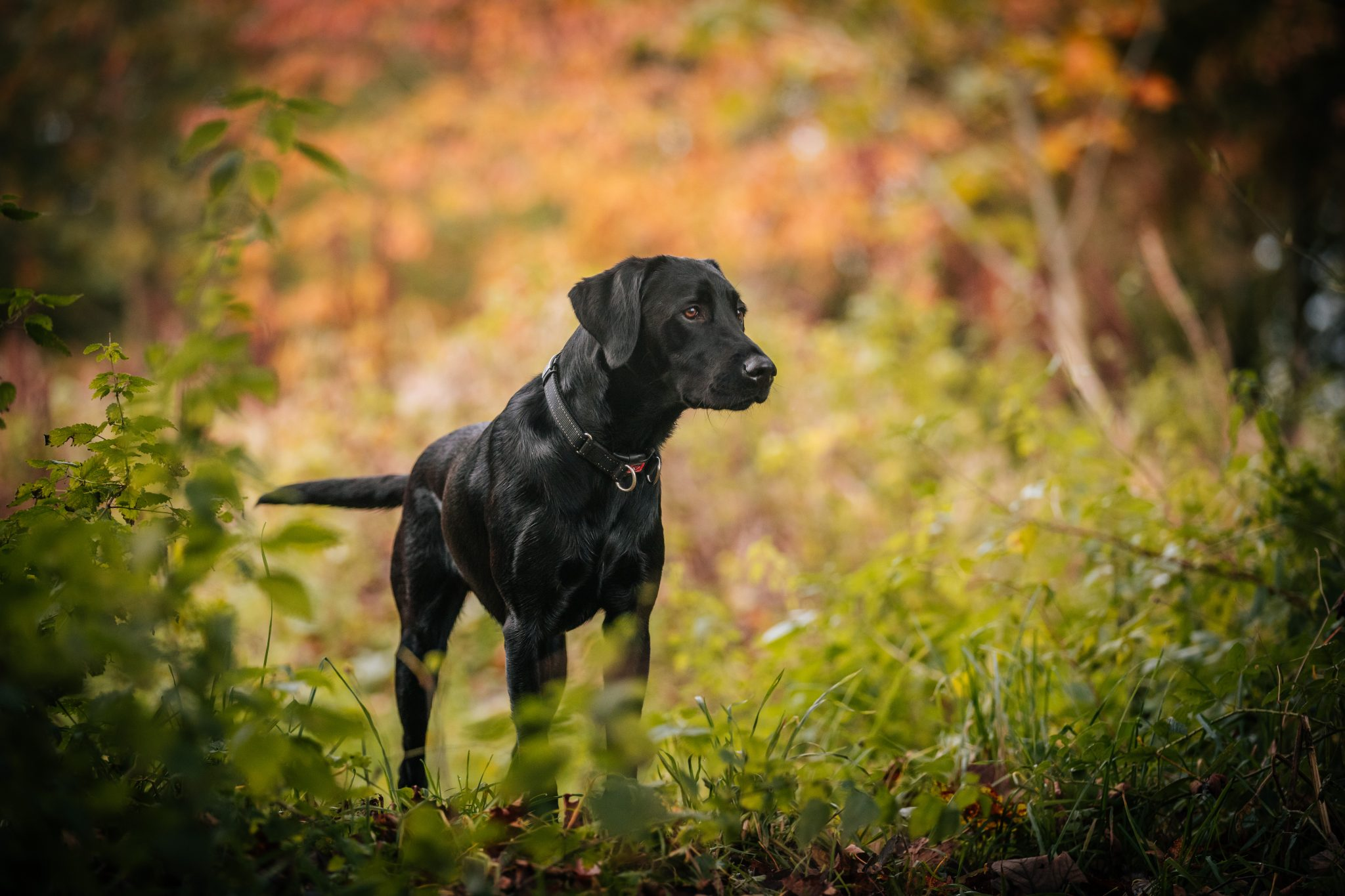 Black Labrador Dog Portraits Joanna Eardley Photography