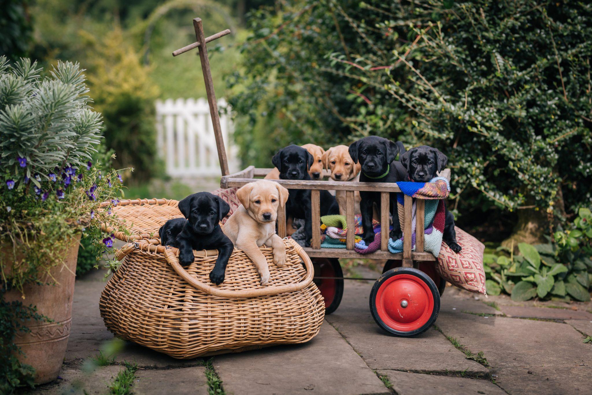 Labrador Puppies photographer Joanna Eardley